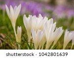 crocus  plural crocuses or...   Shutterstock . vector #1042801639