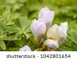 crocus  plural crocuses or... | Shutterstock . vector #1042801654