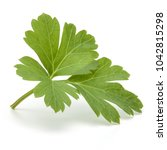 fresh parsley herb leaves ... | Shutterstock . vector #1042815298