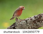 House Finch Perched On A Trunk...