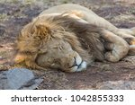 A White Lion In South Africa