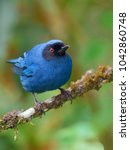Small photo of Portrait of Masked Flowerpiercer (Diglossa cyanea) perched on branch