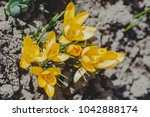 crocus  plural crocuses or... | Shutterstock . vector #1042888174