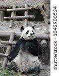 Small photo of Giant Panda Eating Bamboo, Chengdu, China