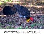 Small photo of Australian brushturkey or Australian brush-turkey (Alectura lathami)