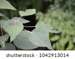 Small photo of Buds of Mallotus japonicus