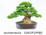 Green Old Bonsai Tree Isolated...