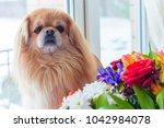 little red senior pekingese dog ... | Shutterstock . vector #1042984078