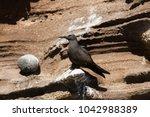brown noddy  anous stolidus... | Shutterstock . vector #1042988389