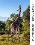 african giraffe  maasai mara... | Shutterstock . vector #1043012494