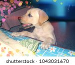 a puppy eagerly waiting for... | Shutterstock . vector #1043031670