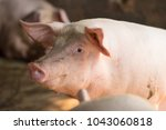group of hog waiting feed. pig... | Shutterstock . vector #1043060818