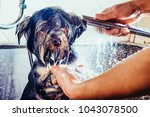 Stock photo portrait of a wet dog toned image yorkshire terrier in the bathroom in the beauty salon for dogs 1043078500