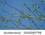 ceiba pentandra fruit on tree... | Shutterstock . vector #1043089798