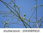 ceiba pentandra fruit on tree... | Shutterstock . vector #1043089810