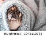 clear old pug sit down looking... | Shutterstock . vector #1043110393