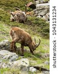 Small photo of Alpine ibex (Capra ibex) alpine environment, spring, Maritime Alps. Young male eating