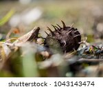 Dry Chestnut On Fresh Spring...