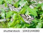 Nymph  Idea Leuconoe  Butterfly