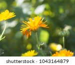 caterpillar on the petal of...   Shutterstock . vector #1043164879