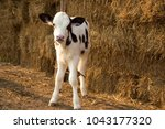 Young Black And White Calf At...