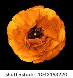 ranunculus  orange yellow.  ...   Shutterstock . vector #1043193220