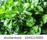 Bok Choy Young Seedling In The...