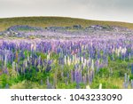 purple lupin field with green... | Shutterstock . vector #1043233090