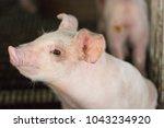 piglet waiting feed. pig indoor ... | Shutterstock . vector #1043234920