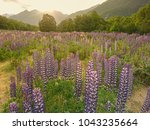 purple lupin flower with... | Shutterstock . vector #1043235664
