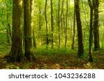 Natural Forest Of Beech Trees...