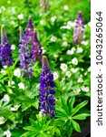 lupins wild flowers in the park | Shutterstock . vector #1043265064