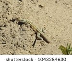 common side blotched lizard | Shutterstock . vector #1043284630