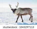 reindeer in winter tundra | Shutterstock . vector #1043297113