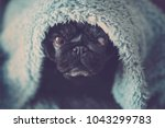 black old pug sit down looking... | Shutterstock . vector #1043299783