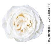 white rose isolated on white   Shutterstock . vector #1043306944