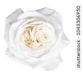 Stock photo white rose isolated on white 1043306950