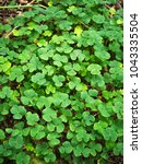 Small photo of Green leaves of wood sorrel (Oxalis acetosella)