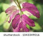 magenta red leave of goutweed ...   Shutterstock . vector #1043349016