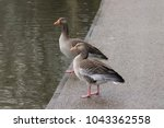 Small photo of A pair of wild greylag geese
