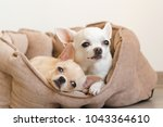 Stock photo two lovely cute and beautiful domestic breed mammal chihuahua p 1043364610