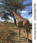 giraffe eating leaves from a... | Shutterstock . vector #1043386798