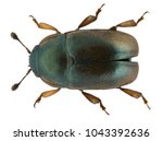 meligethes aeneus is an...   Shutterstock . vector #1043392636