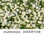 white daisy in nature | Shutterstock . vector #1043397148