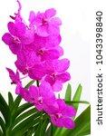pink vanda orchid | Shutterstock . vector #1043398840