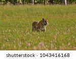the siberian tiger  amur tiger  ... | Shutterstock . vector #1043416168