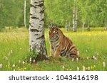 the siberian tiger  amur tiger  ... | Shutterstock . vector #1043416198