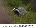 beautiful european badger ... | Shutterstock . vector #1043419390