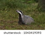 beautiful european badger ... | Shutterstock . vector #1043419393