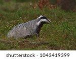 beautiful european badger ... | Shutterstock . vector #1043419399